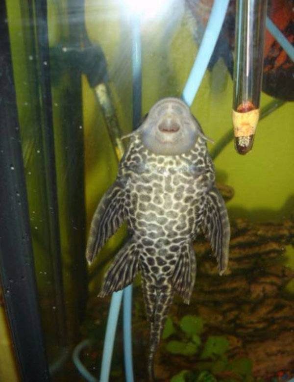 Аквариумная рыбка анцитрус