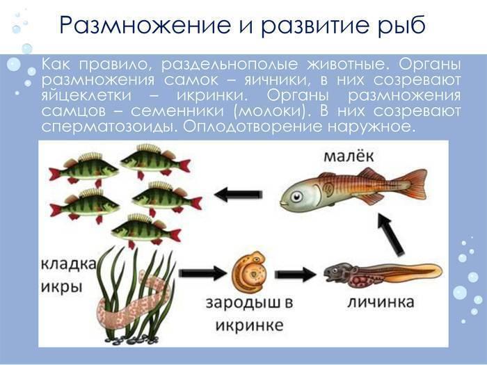 Как размножаются рыбы - всё просто