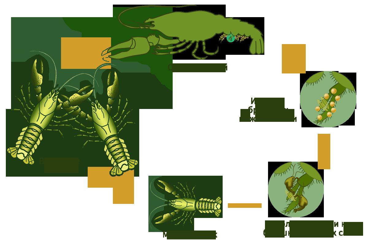 Краткий бизнес-план по выращивании раков