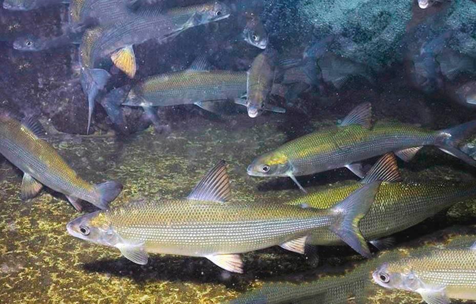 Рыба сиг: особенности и основные разновидности, список сиговых, ловля в разное время года и приманки