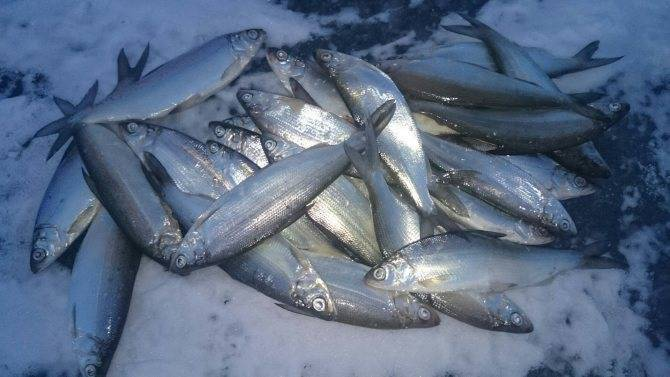 Рыба чир или щокур: описание, обитание, питание, нерест, ловля и выращивание