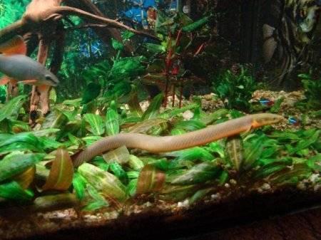 Полиптерус сенегальский: описание,содержание,кормление. | аквариумные рыбки