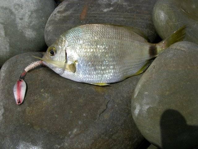 Ловля морского карася – рыбалке.нет