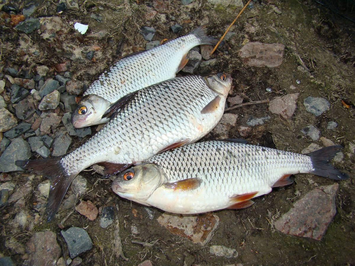Ловля плотвы летом – практические рекомендации