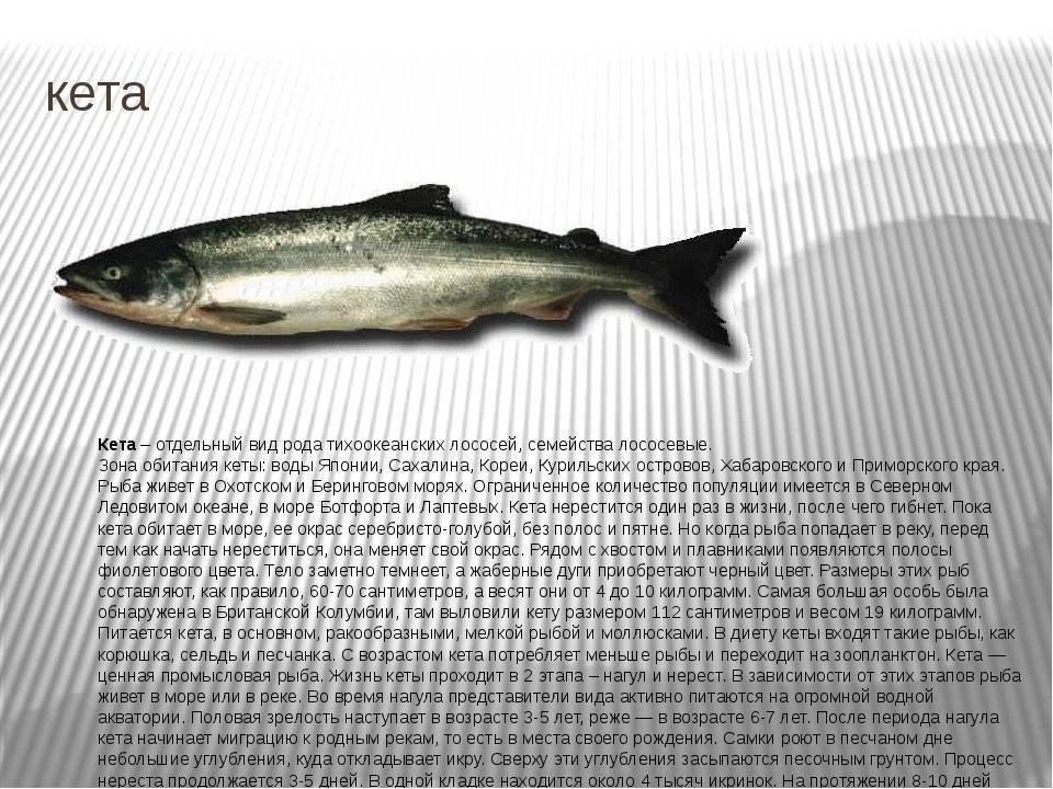 Рыба кета: где водится и как выбрать в магазине