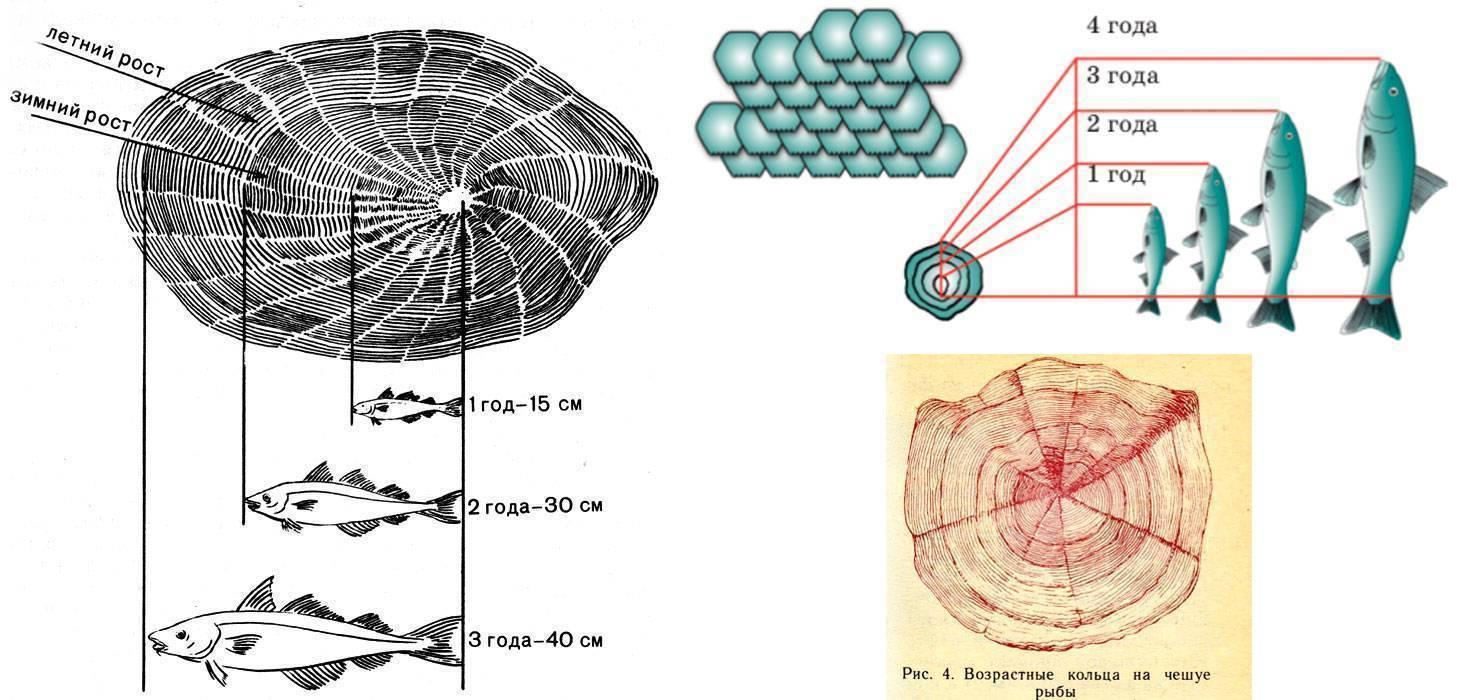 Как можно определить возраст рыбы