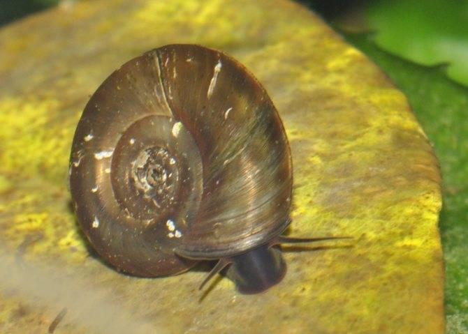 Улитка – катушка: не прошеный гость или санитар аквариума?
