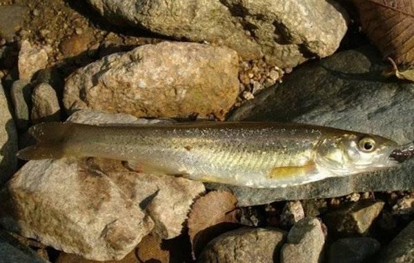 Обыкновенный речной гольян: особенности поведения и методы ловли