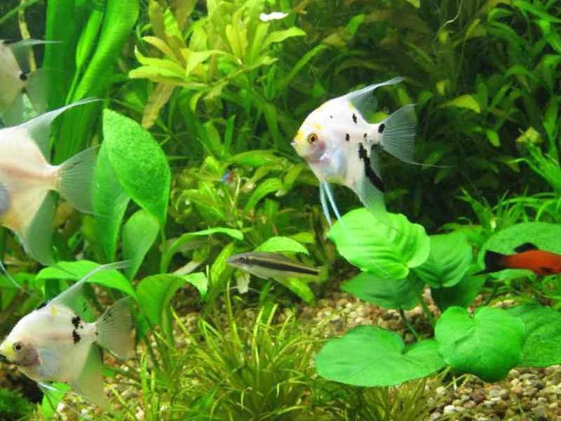 Скалярия аквариумная: совместимость с другими рыбками