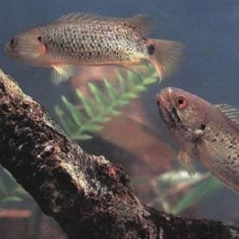 Рыба-ползун или анабас — яркий представитель лабиринтовых