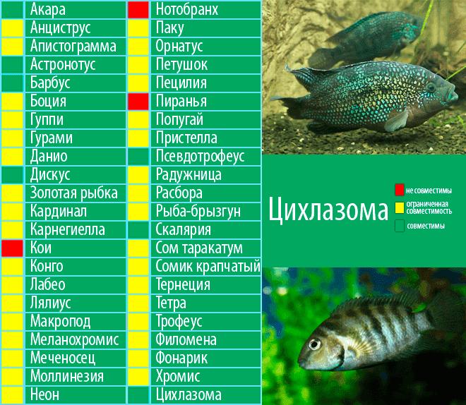 Скалярии: совместимость с другими рыбками