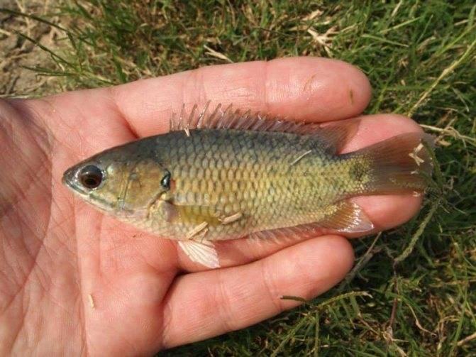 Аквариумная рыбка гамбузия