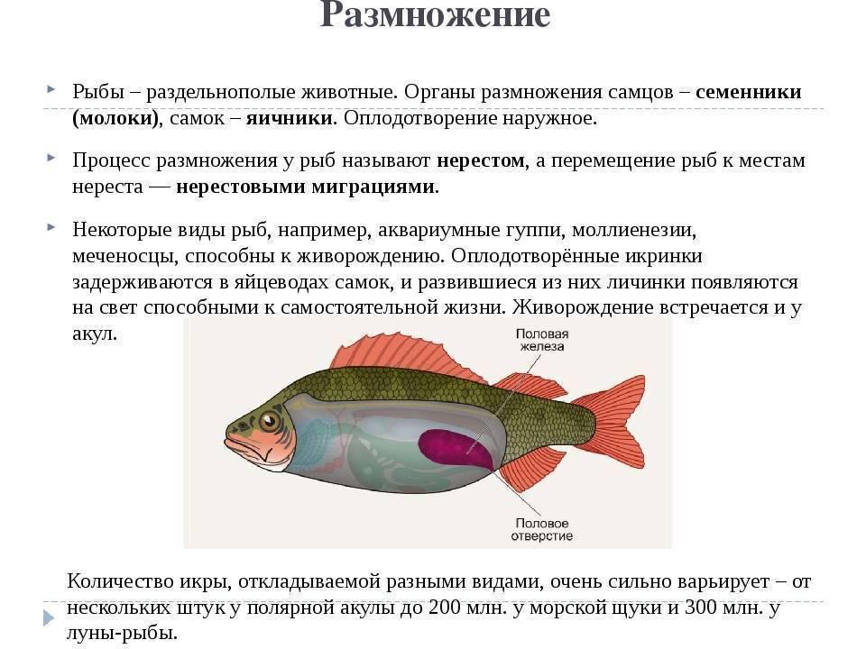 Размножение рыб называется