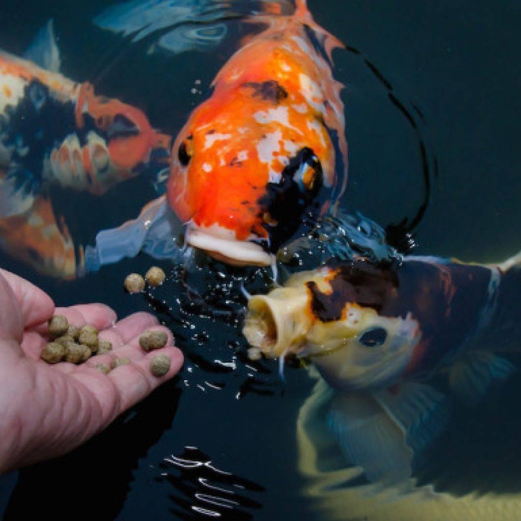 Советы для тех, кто хочет выбрать самых красивых рыбок для своего пруда на даче!