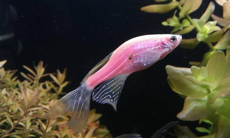 Данио розовый: размножение, содержание и уход аквариумной рыбки в домашних условиях, нерест в общем аквариуме, отличия самки от самца, болезни, фото, описание, цена, отзывы, мальки, кормление, параметры воды