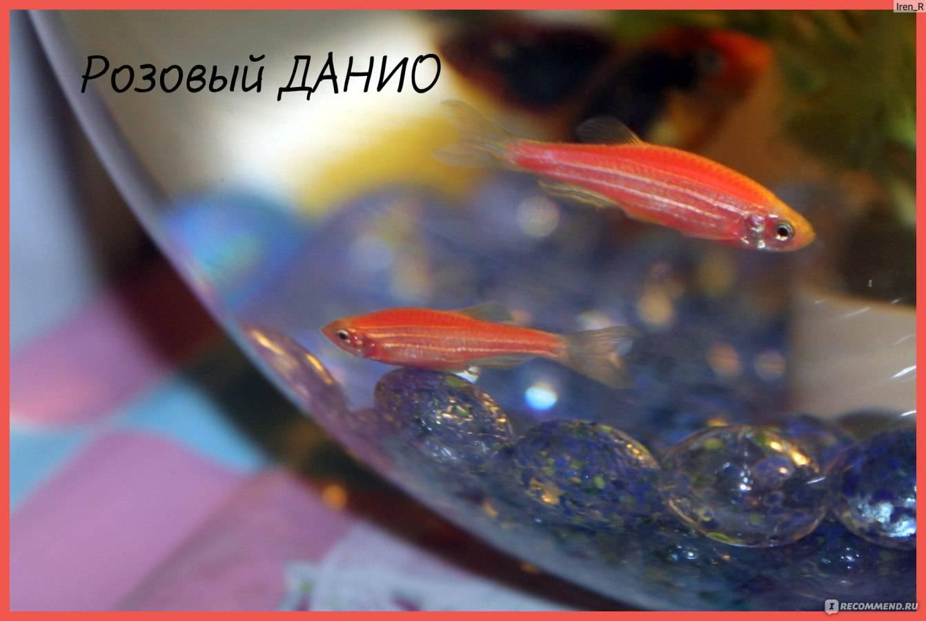 Данио розовый: размножение, уход и содержание аквариумной рыбки, возможные болезни, фото, а также, как отличить самца от самки и особенности нереста