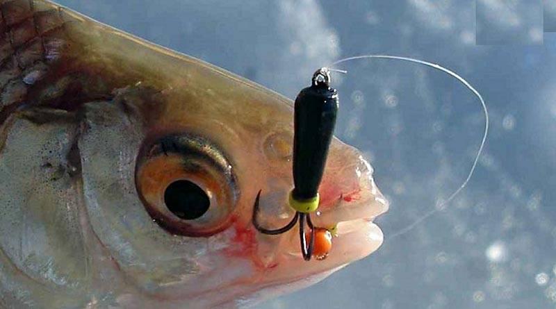 Ловля окуня на мормышку зимой - снасть, техника ловли с мотылем и без