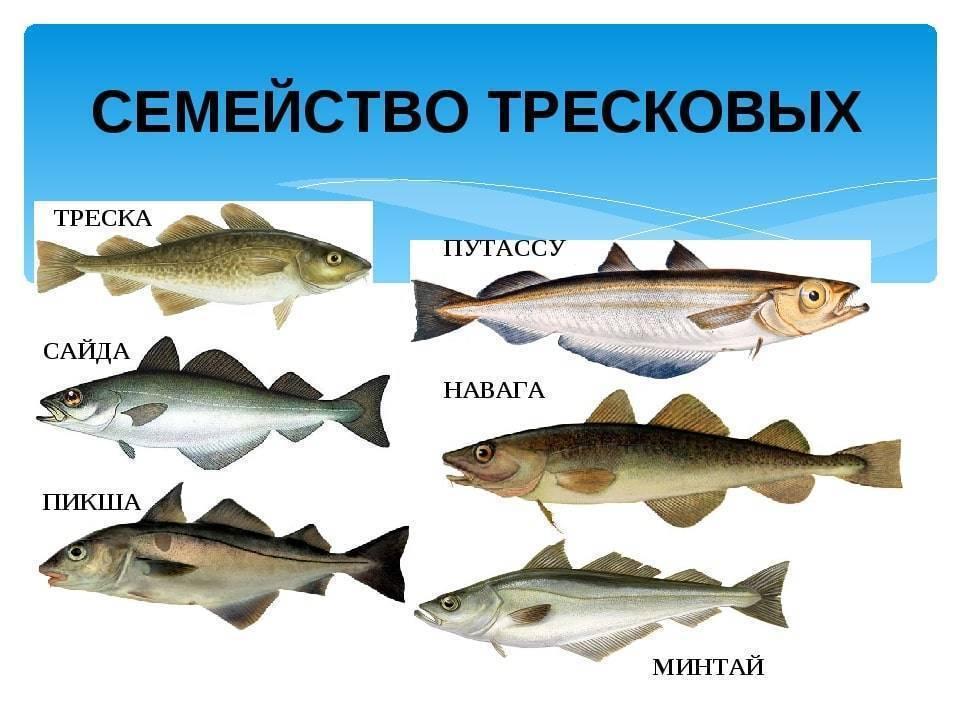Рыба судак: костлявая или нет, как ее почистить и что приготовить