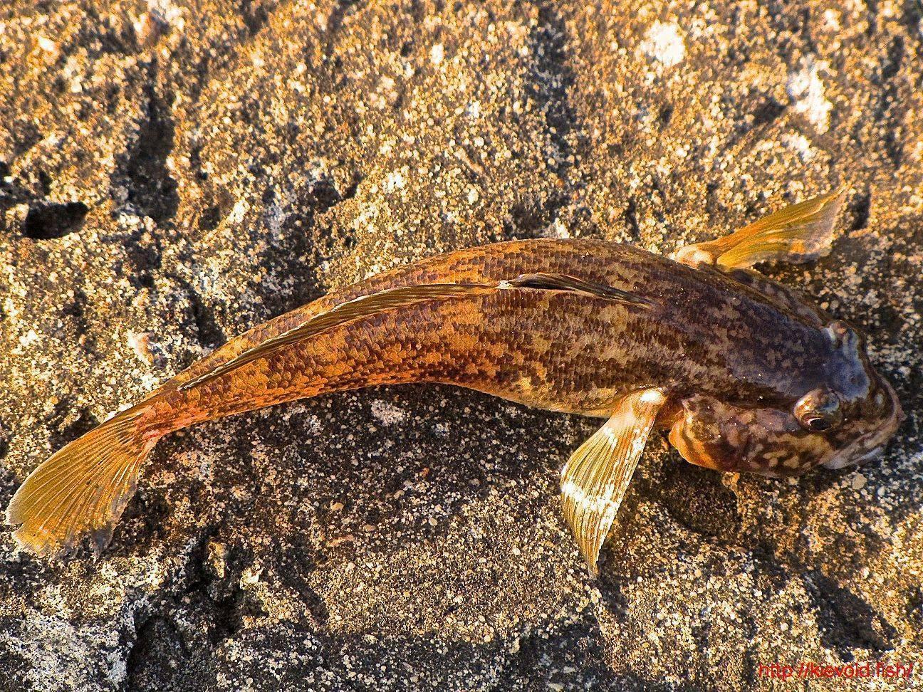 Рыба бычок — разнообразие семейства и основные способы ловли