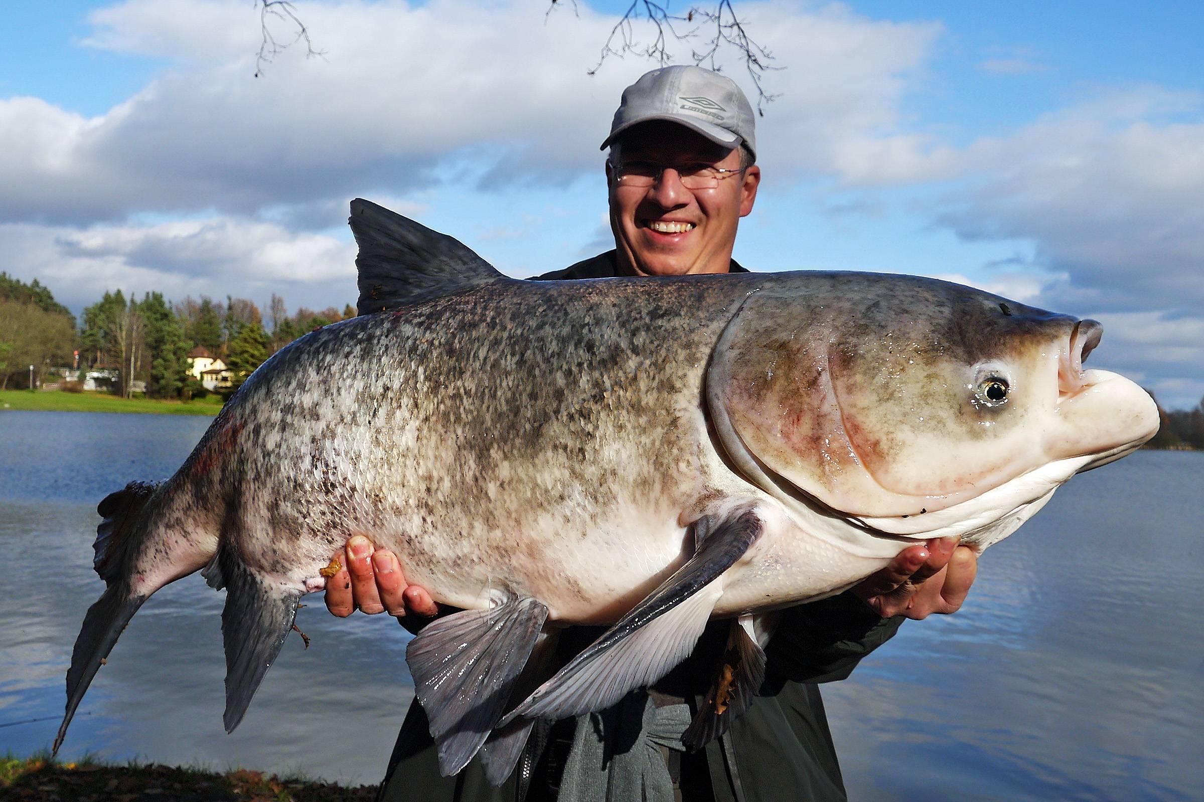 Польза и вред рыбы толстолобика | польза и вред