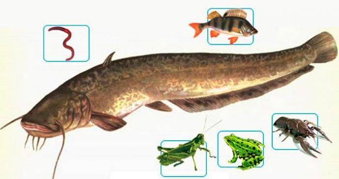 Лучшие приманки для ловли сома искусственного и животного происхождения для ловли на квок и спиннинг