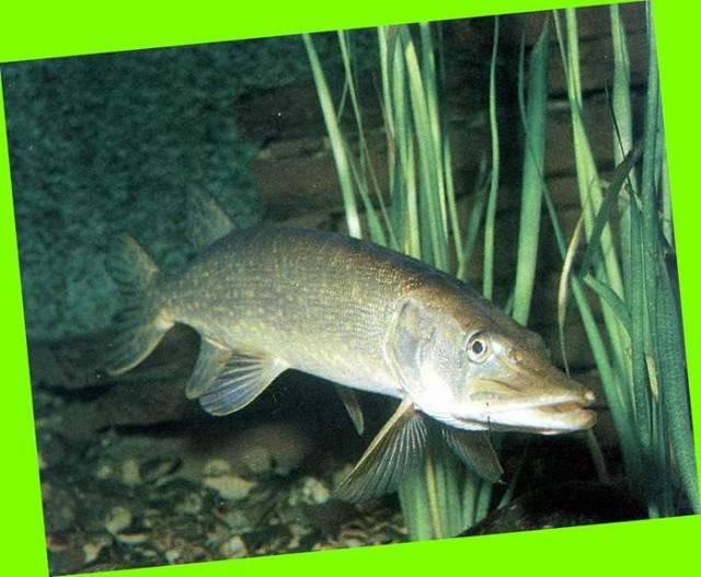 Где ловить щуку: водоёмы и места, в коих водится зубастая хищница