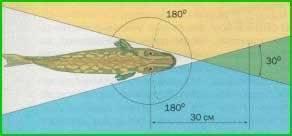 Глаза как у рыбы. органы зрения. зрение рыб. органы чувств: зрение рыб - человек и здоровье