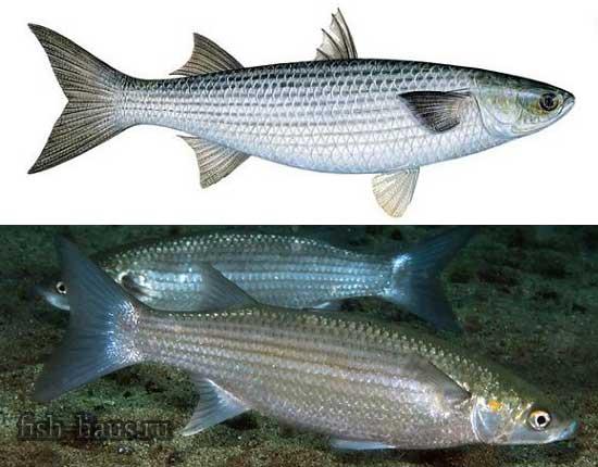 Характеристика рыбы кефаль и её виды, фото и полезные свойства, а также рецепты приготовления такой рыбы. кефаль: что за рыба кефаль что за рыба как