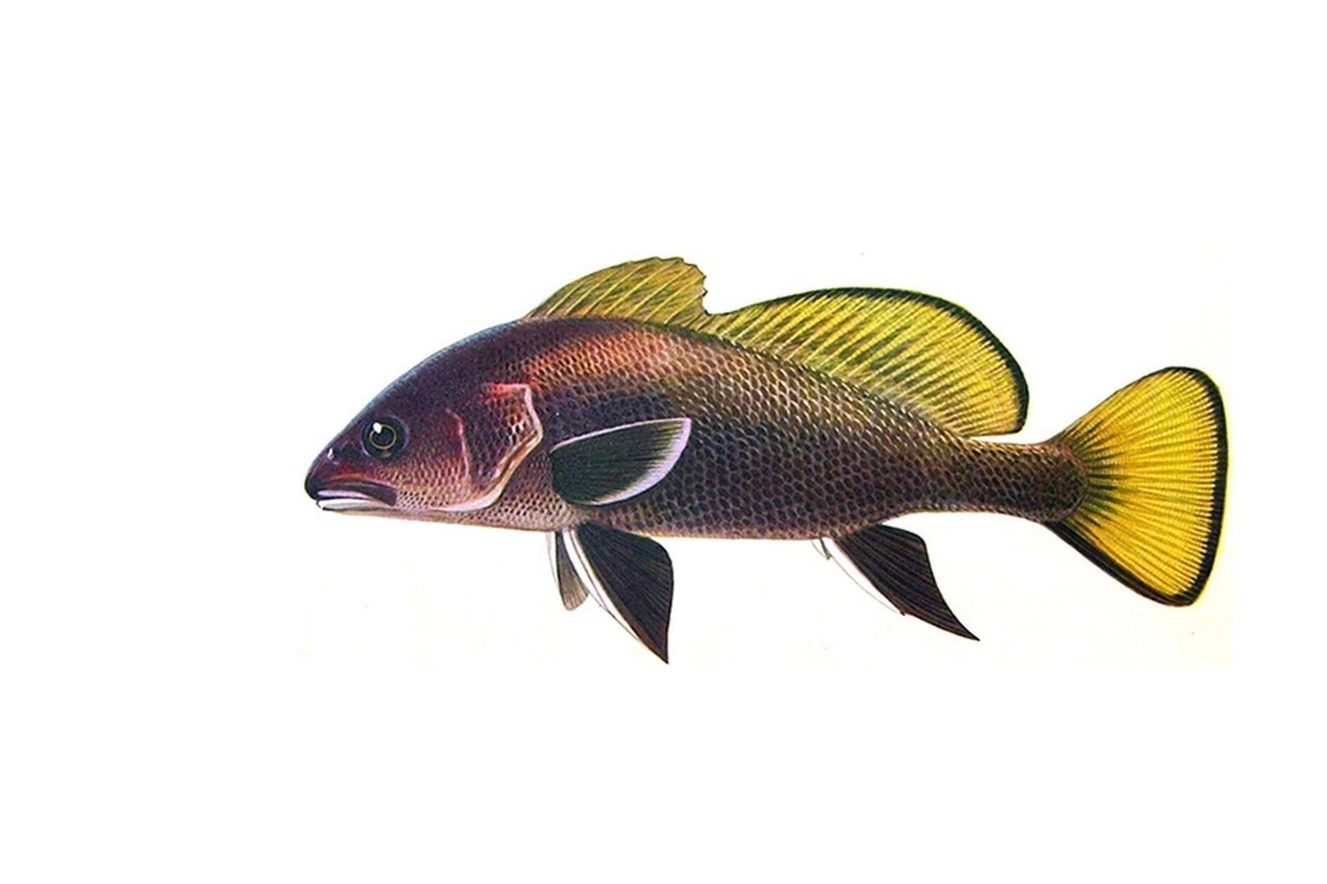 Луфарь (гумбар) — описание, как ловить и где