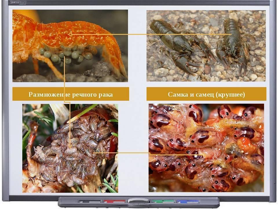 4 этапа размножения самки и самца петушков