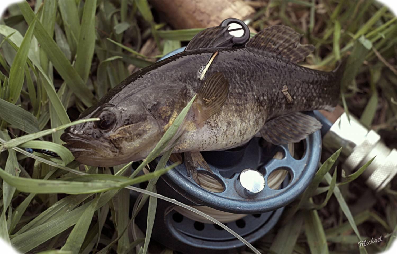 Рыба ротан - происхождение, внешний вид, чем опасен и как готовится ротан (100 фото)