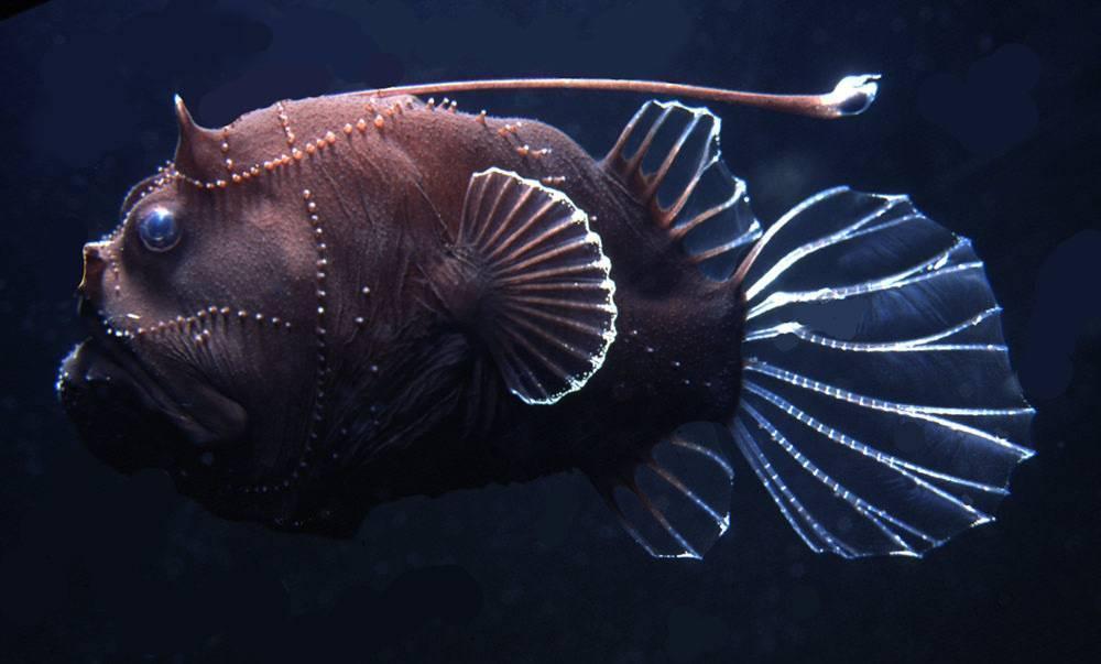 Глубоководная рыба с фонариком на голове: как называется, описание вида и особенности питания