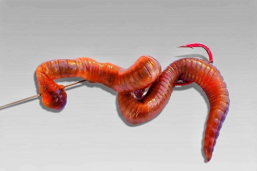 Как насадить червя на крючок для карася, леща, сома, карпа