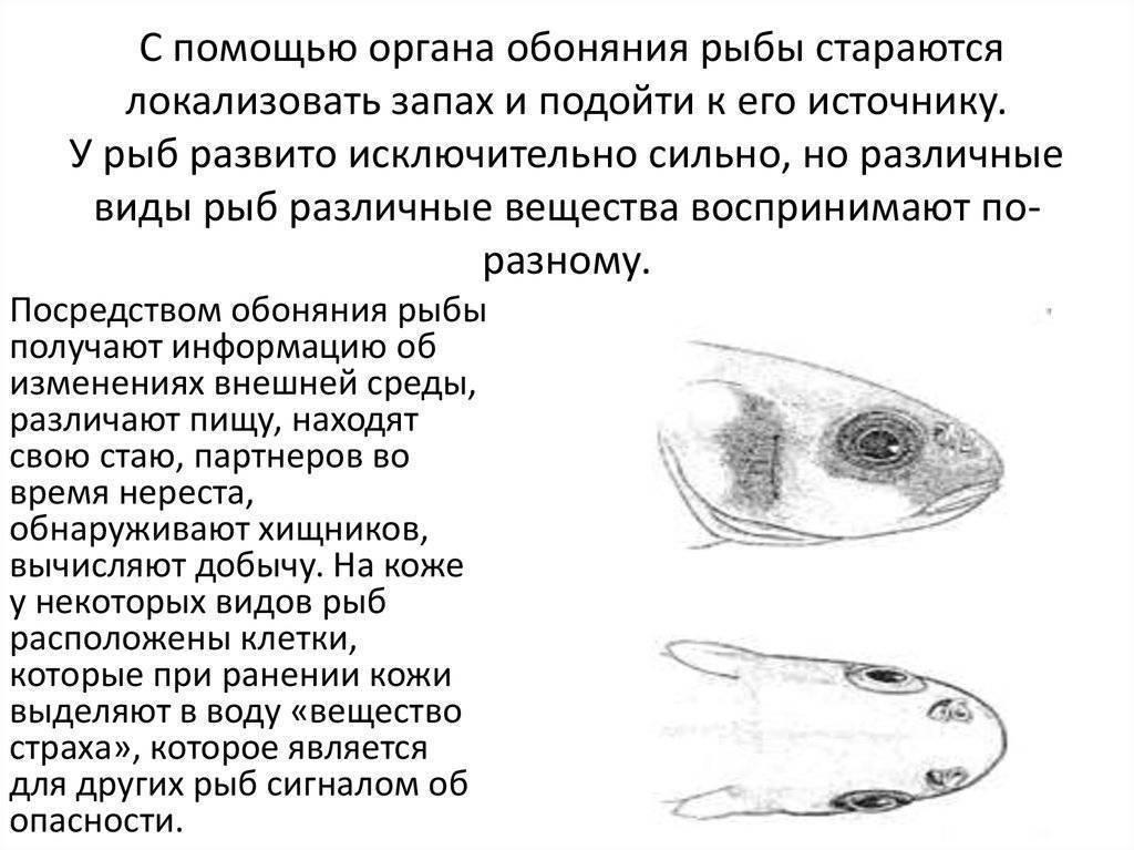 Орган слуха и равновесия рыб. органы слуха у рыб