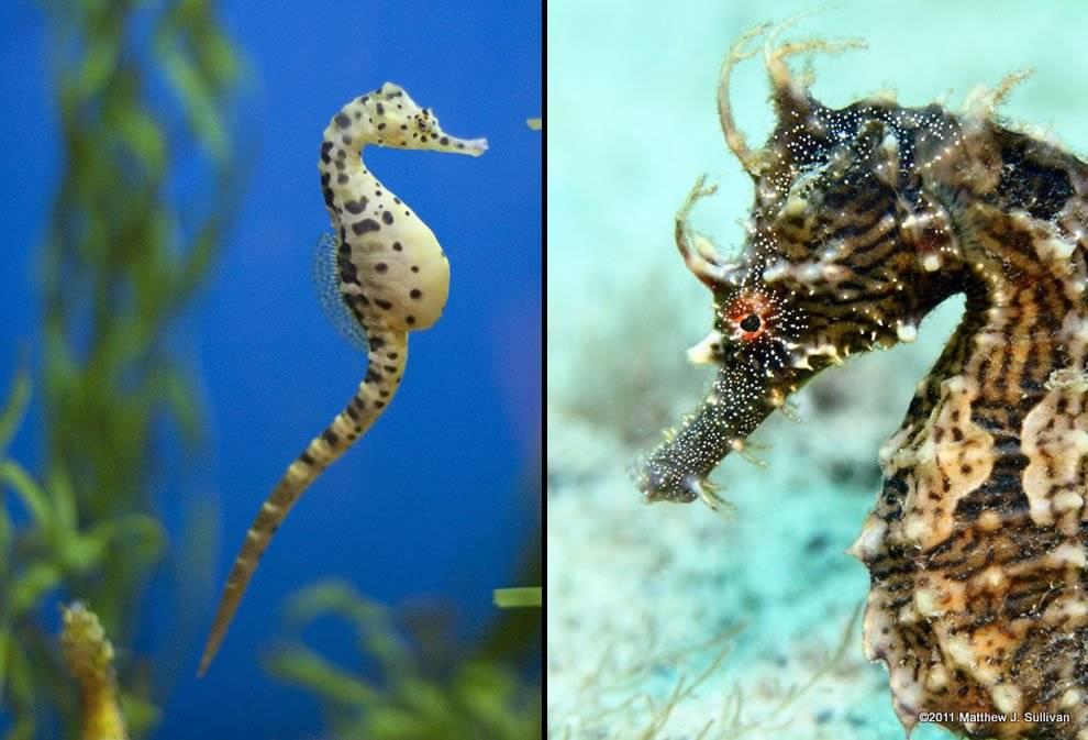 Морские коньки - фото, описание, содержание, размножение, купить