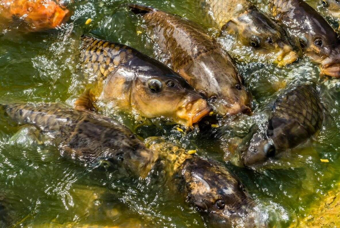 Свойства минтая: 85 фото пользы, вреда мяса рыбы и особенности его готовки