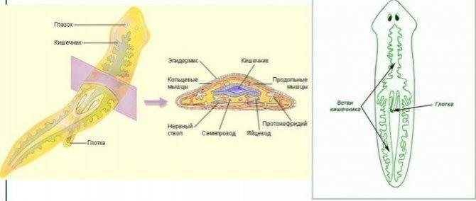 Белая (молочная) планария – строение, нервная система и пищеварительная система планарии - мир здоровья