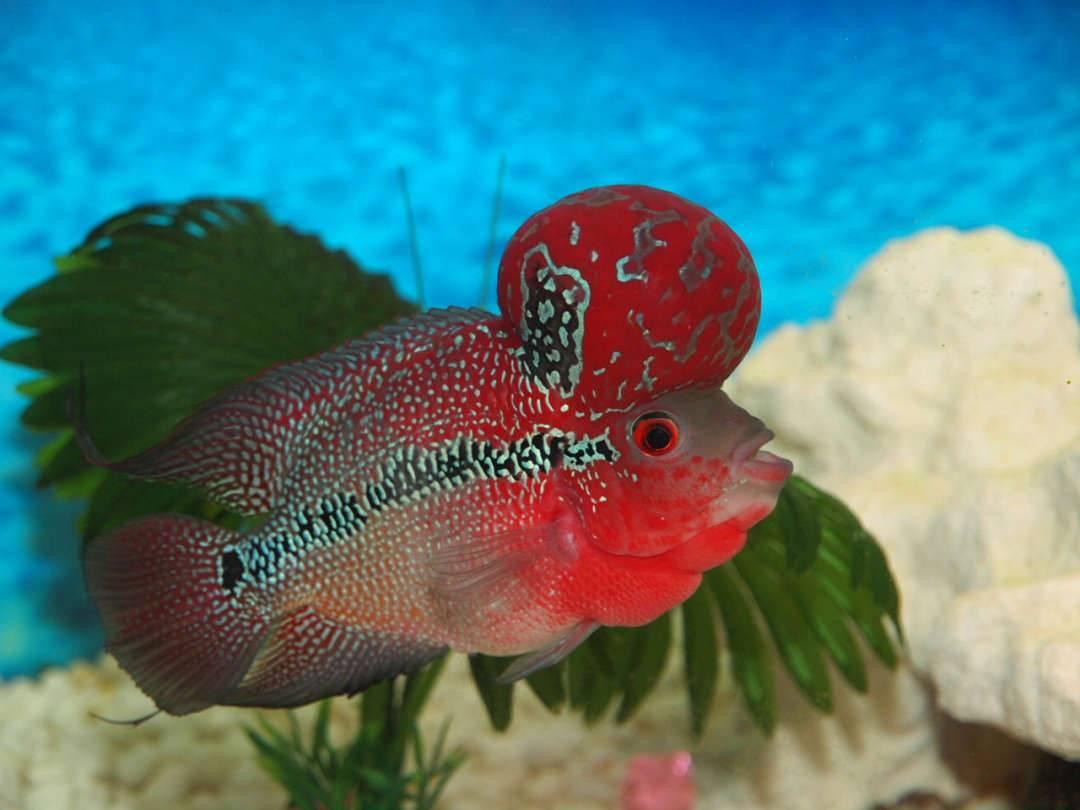 Астронотус: содержание и уход за аквариумной рыбкой