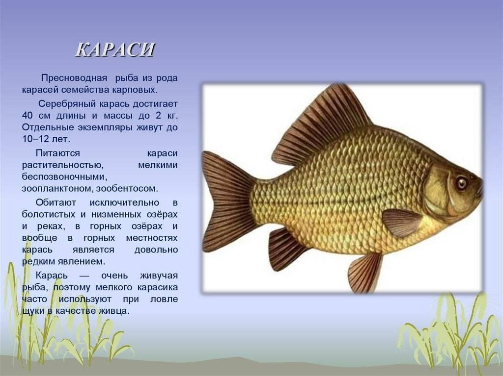 Рыба карась, фото и описание: чем питается, сколько живет