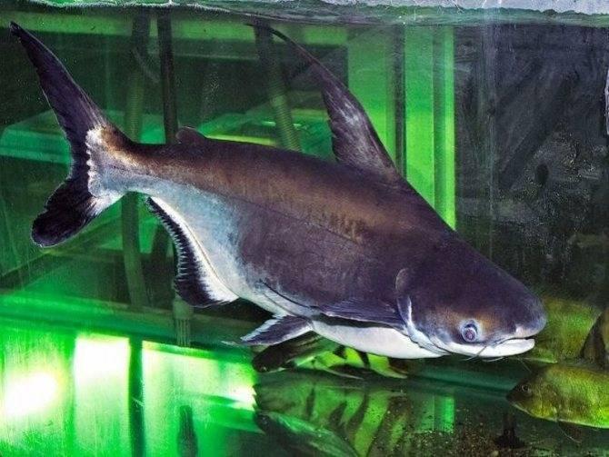 Акулий сом или пангасиус: содержание в аквариуме, совместимость