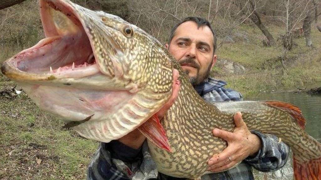 Самые большие пресноводные рыбы...: самые, самые... это необычно... newsland – комментарии, дискуссии и обсуждения новости.