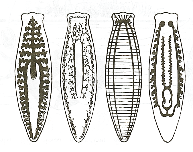 Планарии – враги аквариума , но кто же они?