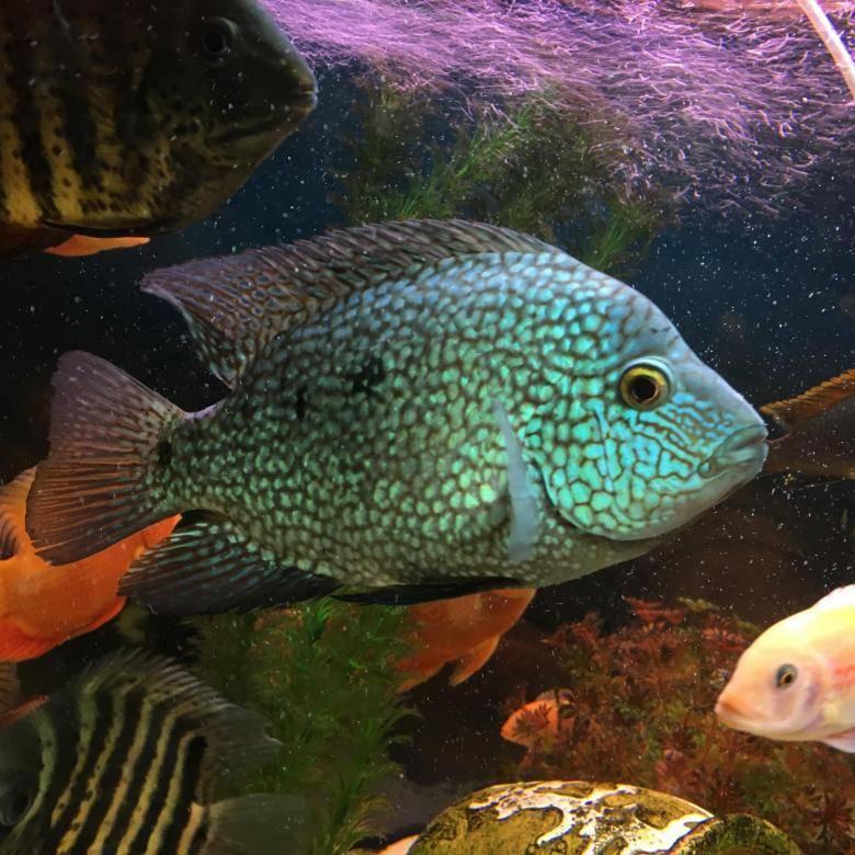 Цихлазома чернополосая: фото рыбки, содержание, разведение, совместимость, видео цихлазома чернополосая: фото рыбки, содержание, разведение, совместимость, видео