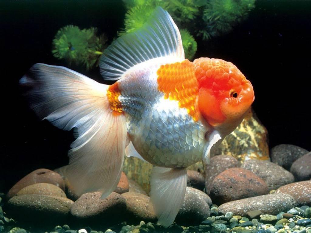 Рыбка красная шапочка или оранда красная: описание и содержание в аквариуме