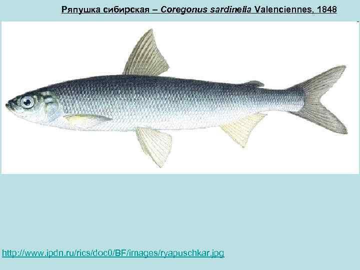 Рыба ряпушка — фото, где водится, виды (европейская и сибирская), особенности ловли