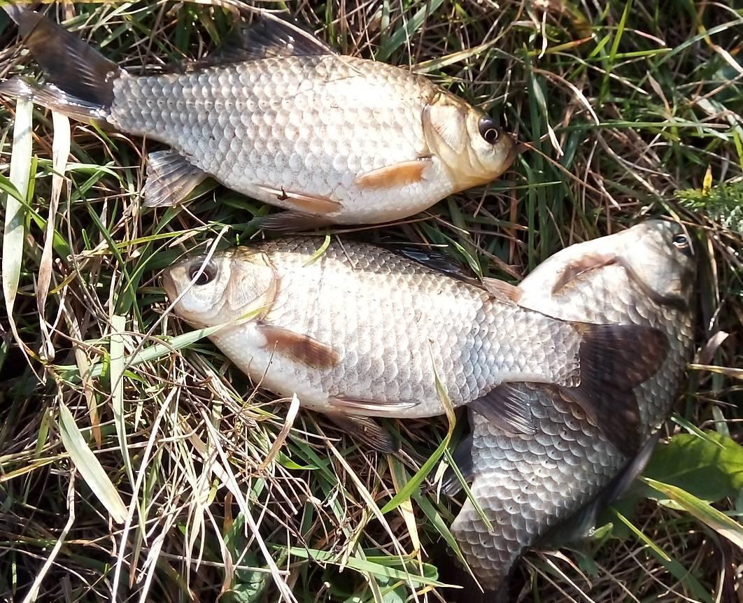 Ловля карася осенью - наживки, время клёва и тактика ловли - рыбколов!