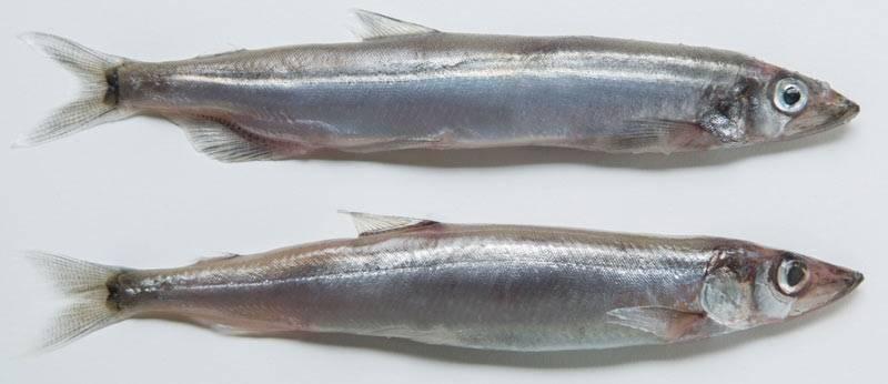 Рыба мойва