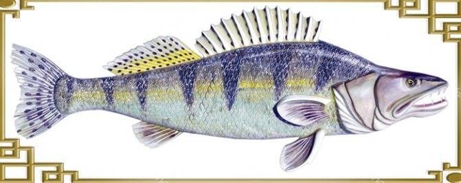 Хищная пресноводная рыба берш – брат судака
