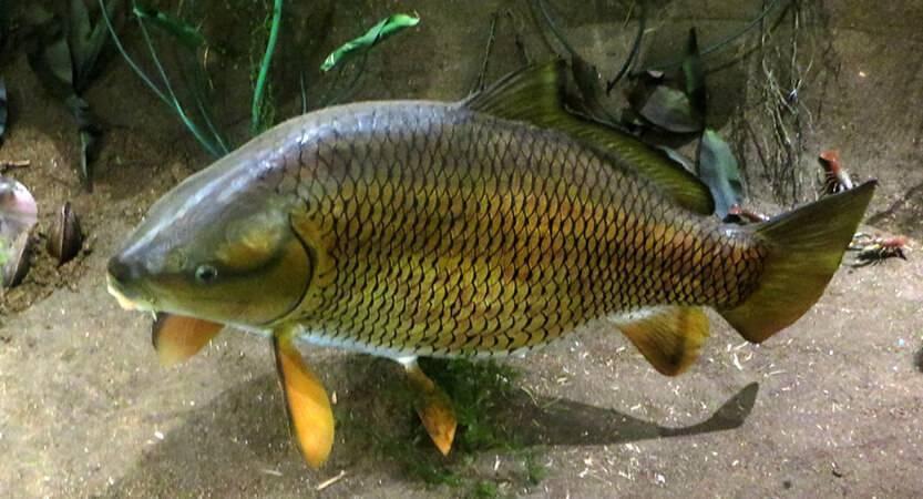 Рыба буффало - фото, описание, ловля