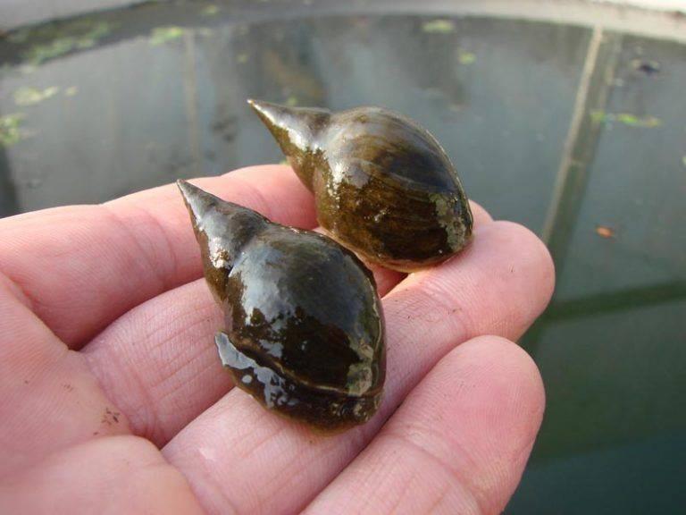 Как вывести мелких улиток из аквариума: естественные враги, химические средства и ловушки